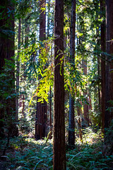 Singled out (jde95tln) Tags: hendy woods state park california 6d canon redwoods forest