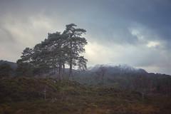 Old Trees (ShinyPhotoScotland) Tags: art shapeandform rawconversion toned nature digikam flora trees pine pinussylvestris subtle caledonianforest snapseed dcraw serifaffinityphotoipad colour mutedcolour unitedkingdom gbr