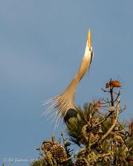 "D9) Great Blue Heron -  ""Attitude"" (Bob Gunderson) Tags: ardeaberodias birds california goldengatepark greatblueheron herons northerncalifornia sanfrancisco stowlake wadingbirds"