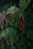 jdy244XX20170901a6722Bias-2 stops-2.jpg (rachelgreenbelt) Tags: monocots usa greenbelt northamerica midatlanticregion orderasparagales ghigreenbelthomesinc maryland familyasparagaceae maianthemum maianthemumall americas ouryard magnoliophyta asparagaceae asparagaceaefamily asparagales floweringplants irides monocotyledons oneplant singleplantportrait smilacina spermatophytes