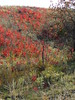 Field of Red (jHc__johart) Tags: sumac red oklahoma