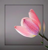 Tulip (Körnchen59) Tags: tulip tulpe rahmen pink grau körnchen59 elke körner blume flower sony