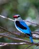 Woodland Kingfisher (leendert3) Tags: leonmolenaar southafrica phalaborwa nature wildlife birds woodlandkingfisher coth5 ngc npc