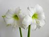 White (Frans Schmit) Tags: wit white amaryllis fransschmit flower bloem wonderfulworldofflowers
