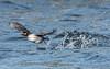 Bufflehead Blastoff (Vic Zigmont) Tags: duck femalebufflehead birdinflight