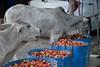 _DSC0821 (lnewman333) Tags: shanstate nyaungshwe burma myanmar sea southeastasia asia inlelake cows bovine tomatoes snacking eating