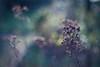Reminder (ursulamller900) Tags: pentacon2829 oregano seeds winter bokeh mygarden