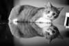 Luke's Reflection (Nicholas Erwin) Tags: animal cat luke feline kitty kitten reflection meow pet contrast blackandwhite monochrome bw mono nikon d610 5018g nikkor 50mm instagram quitinstagram fav10 fav25 fav50