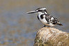 Pied Kingfisher | Ceryle rudis | चितला कौडियाल (Paul B Jones) Tags: india piedkingfisher cerylerudis चितलाकौडियाल girnationalpark gujarat canoneos5dmarkiv ef800mmf56lisusm wildlife nature asia asian tourist tourism travel ecotourism indian indiya inde indien indië