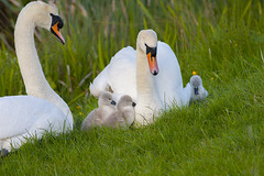Swans with Cygnets (Fishlady_UK) Tags: swans cygnets abbey redditch