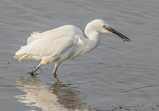 JWL9072  Little Egret..