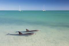Bottlenose dolphins in Shark Bay Marine Park, Australia (Tim van Woensel) Tags: shark bay marine park bottlenose dolphins western australia wa down under travel sea boats denham unesco indian ocean