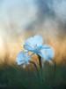 Narcissus cantabricus (luisotespi68) Tags: narciso narcisos daffodil daffodils flor flores flower flowers flora flowerphotography flowersphotography nature naturaleza naturephoto naturephotography invierno olympus penf chinon autochinon 50mm f14 fotodioxpro bokeh desenfoque fondo