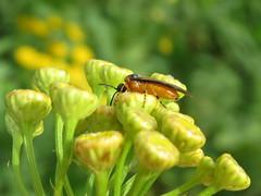 +IMG_6084 Repcedarázs (Athalia rosae) gilisztaűző varádics (Tanacetum vulgare) virágán_cr (NagySandor.EU) Tags: repcedarázs athaliarosae gilisztaűzővarádics varádics tanacetumvulgare