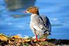 Madame Harle bièvre (jean-daniel david) Tags: oiseau oiseaudeau harlebièvre nature animal lathièle rivière bleu reflet bokeh closeup feuille yverdonlesbains brun gris plume plumage
