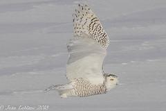 Harfand des neiges Snowy Owl_3205 (JeanLe2012) Tags: buboscandiacus harfanddesneiges snowyowl strigidés