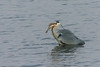 Too big? (Mr.Borup) Tags: fiskehejre fisk greyheron withfish swallow sluge