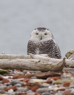 Snowy Owl hunkered down out of the wind.