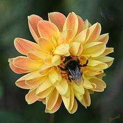 Bee Happy (Eleanor (No multiple invites please)) Tags: bee busheyrosegarden bushey uk nikond7200 105mmmacrolens august2017 coth5