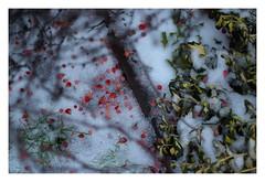 5/5 (Robert Drozda) Tags: portland oregon bush landscaping twig leaf red christmas storm pdx ice snow drozda