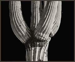 Sabino Canyon IR #15 2018; Saguaro & Moon (hamsiksa) Tags: photos blackandwhite infrared digitalinfrared botanicals plants flora cactus cacti saguaro cactaceae carnigieagigantea arizona tucson desert sonorandesert canyons sabinocanyonnationalrecreationarea bajada