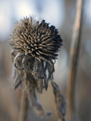 Winter Coneflower (Macro Lord) Tags: coneflower micronikkor 40mm d3300
