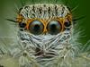 Jumping spider (Hai Hiu) Tags: haihiu macro extrememacro insect spider jumpingspider