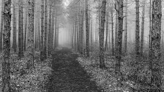 B&W foggy woods