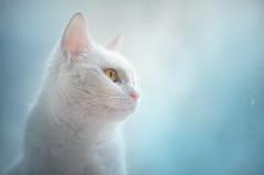 Cicikatica (Katarina Drezga) Tags: cats cat petphotography pets nikond750 animals felines domesticcat photoshop