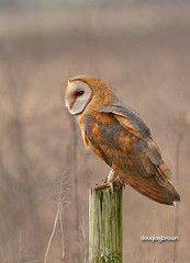 DB7_7611 (DouglasJBrown) Tags: barnowl djbphoto nature nikonafsnikkor300mmf28gedvrii birdsinbc boundarybay vole prey hunting perch