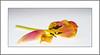 Blumentag (Flowerday) (alfred.hausberger) Tags: verwelkt tulpe