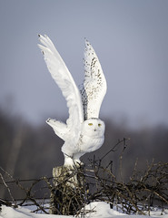 Snowy Owl (Tomingramphotography.com) Tags: snowy owl canada