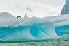 Gentoo Penguin on Iceberg (Jian Fan) Tags: gentoopenguin iceberg antarctica