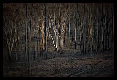 Scorched Survivors  -  [#4 of 5] (Kevin Rheese) Tags: carwoola widgiewaroadc326 bushfire destruction devastation fire disaster widgiewa