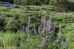 Lupines (Ralph Earlandson) Tags: redwoods lupine california redwoodsnationalpark wildflower