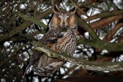 Waldohreule (Asio otus) (Silu Junior) Tags: owl eule bird vogel nature wildlife animal tier waldohreule natur nikon sigma