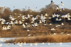 Snow Geese_20A1683 (Alfred J. Lockwood Photography) Tags: alfredjlockwood nature wildscape wildlife birds waterfowl snowgeese flight morning autumn hagermanwildliferefuge pond grasses sherman texas pan
