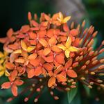 Balinese flower thumbnail