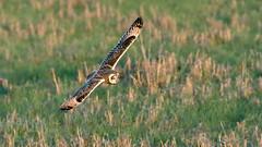Short Eared Owl (Distinctly Average) Tags: phillluckhurst distinctlyaverage wwwdistinctlyaveragecouk wildlife cambs eldernell bird bif flight shortearedowl canon owl handheld 7dmark2 100400ii