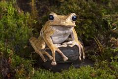 Borneo Eared Frog, CaptiveLight, Bournemouth, Dorset, UK (rmk2112rmk) Tags: borneoearedfrog captivelight polypedates otilophus frog amphibian herps macro dof
