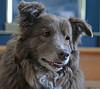 Portrait Of Shizandra (Jo Zimny says: Where Is Spring????) Tags: odc portrait ddc pose 2304 shizandra face head inthelivingroom smiling dog canine female bordercolliemix animalplanet