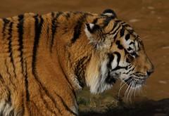 Yorkshire Wildlife Park 20.02.2018 078 (Andrew Burling (SnapAndy1512)) Tags: yorkshirewildlifepark20022018 yorkshire yorkshirewildlifepark tiger amurtiger bigcats animals zoo
