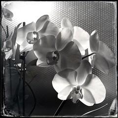 HipstaPrint (Therese Cherton) Tags: hipstamatic hornbecker dtypeplate flowers