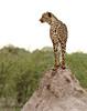 Early Morning Cheetah (zimbart) Tags: africa namibia etosha namutoni fauna vertebrata carnivora mammals felidae acinonyx acinonyxjubatus cheetah