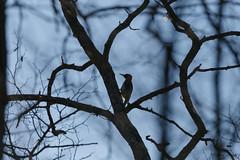 Pic vert à contrejour (Philippe Renauld) Tags: pic vert contrejour domainedesoiseaux arbre mazères occitanie france fr