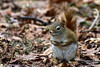 DSC_0504B (The Real Maverick) Tags: highpark torontoparks toronto ontario canada outdoor winter wildlife squirrel redsquirrel nikon