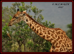 MASAI GIRAFFE (Giraffa camelopardalis tippelskirchii)....MASAI MARA.....SEPT 2017 (M Z Malik) Tags: nikon d3x 200400mm14afs kenya africa safari wildlife masaimara keekoroklodge exoticafricanwildlife masaigiraffe ngc npc