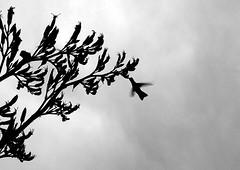 Colibrikis (mvdaruich) Tags: pajaro colibri silueta vuelo fauna autoctono