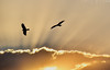 """""""flying high"""", birds at sunset (Neal J.Wilson) Tags: sunset sunrise ethiopia african africa clouds sky nikon d5600 birds flying silhouette nature natural wildlife prey sunrays sunbeams"""