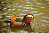 Mandarin duck (Teruhide Tomori) Tags: takaragaikepond kyoto bird nature water aquaticbird wild animal rakuhoku japan japon mandarinduck オシドリ 宝ヶ池 野鳥 鳥 水鳥 京都 日本 自然